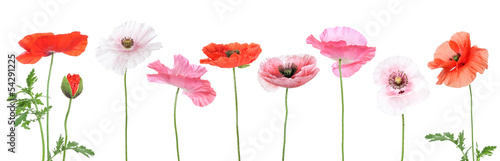 Poster Poppy Verschiedene Mohnblumen, different corn poppys