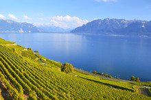 Vineyards In Lavaux Region, Sw...