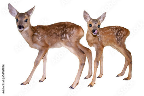 Poster Roe Roe deer (Capreolus capreolus) fawns isolated