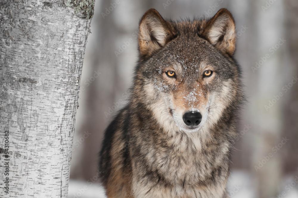 Fotografía Lobo gris (Canis lupus) Al lado de árbol de abedul ...