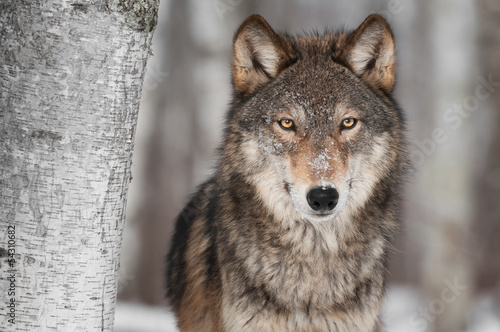 Tuinposter Wolf Grey Wolf (Canis lupus) Next to Birch Tree