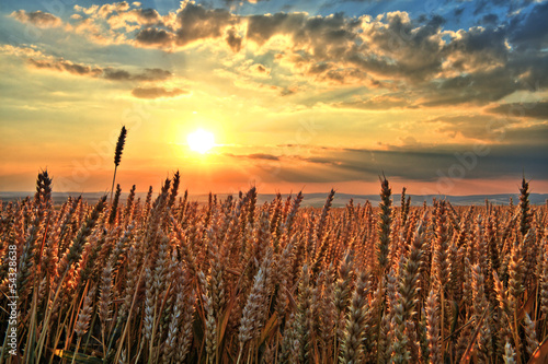 Fototapeta Sunset over wheat field obraz