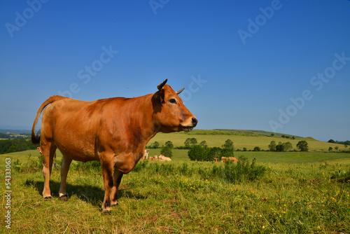 La vache Aubrac Fototapet