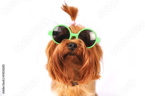 yorkshire-terrier-w-okularach-hipsterskich