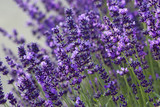 lavender flowers - 54336422