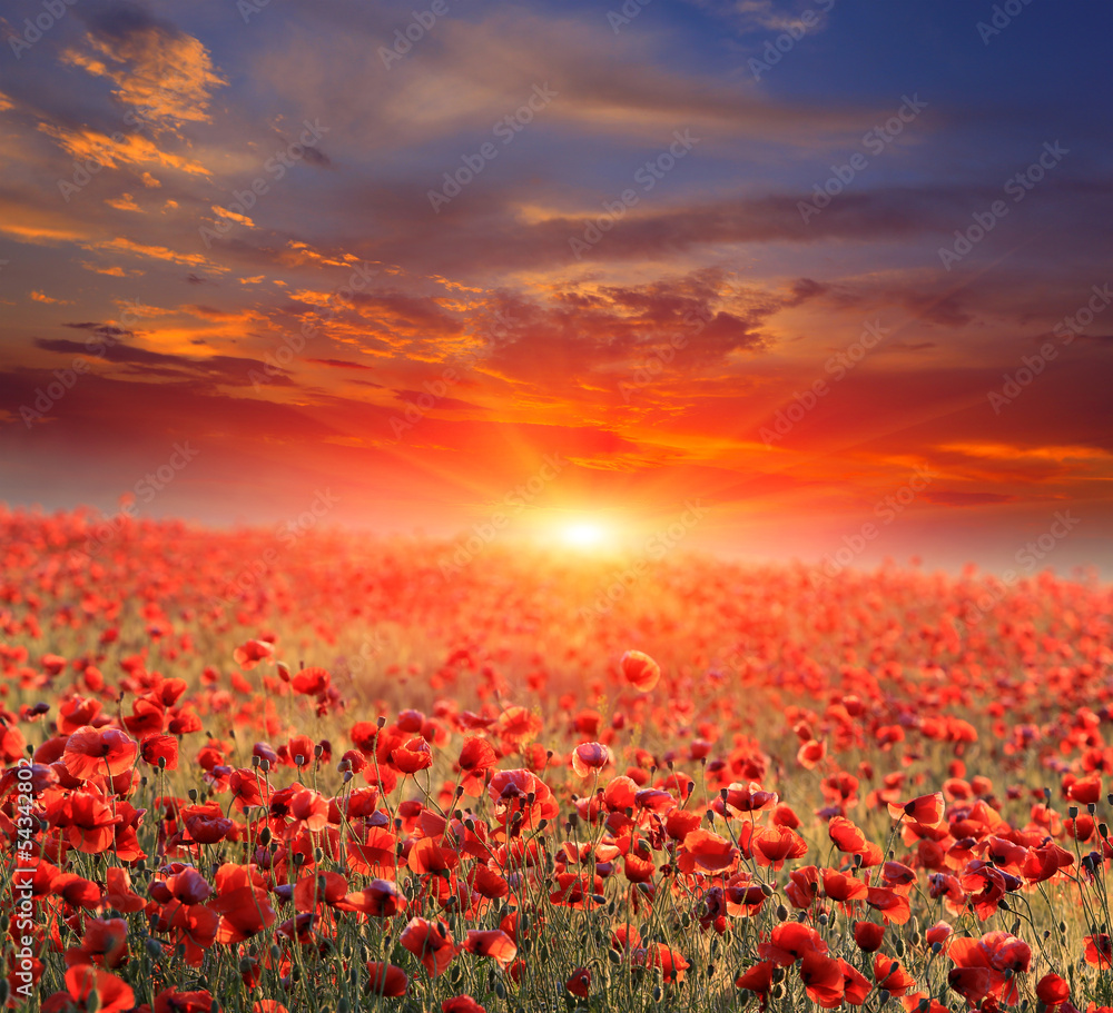 Fototapeta poppy field on sunset