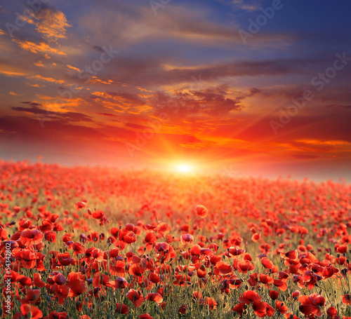 Poster Klaprozen poppy field on sunset