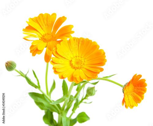 Obraz calendula flowers - fototapety do salonu
