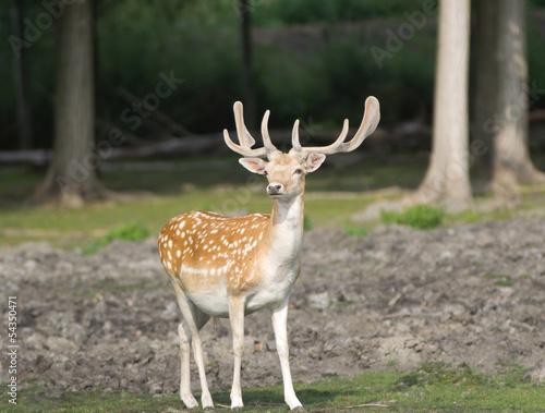 Foto op Aluminium Ree Fallow deer in forest