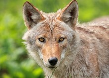 Portrait D Un Coyote