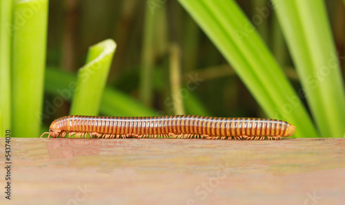 Fényképezés Millipede crawling on wooden with green plant background