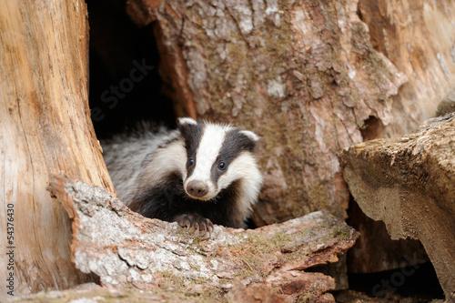 Badger Fototapeta