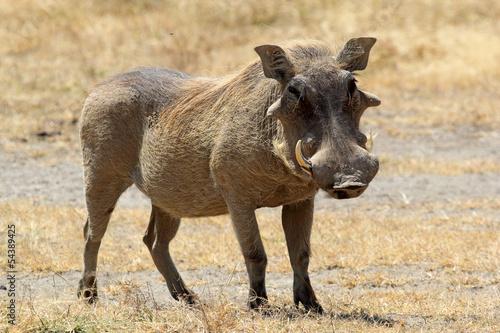 Photo  A warthog standing