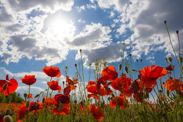 red poppies in a rays of sun