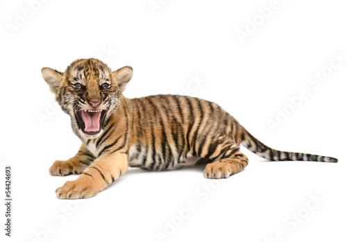 Foto auf AluDibond Tiger baby bengal tiger