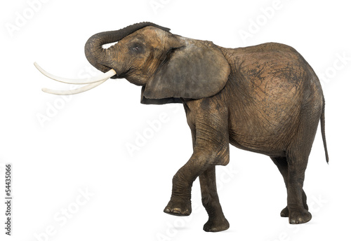 Foto op Aluminium Olifant Side view of an African elephant lifting its trunk and leg