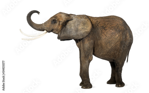 Foto op Aluminium Olifant Side view of an African elephant lifting its trunk, isolated on