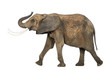 Side view of an African elephant lifting its trunk, isolated on