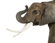 Close up of an African Elephant lifting its trunk, isolated