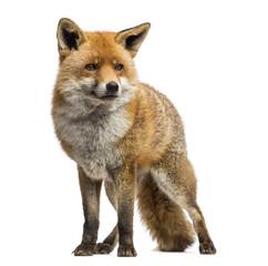 Fototapeta Red fox, Vulpes vulpes, standing, isolated on white