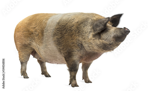 Leinwand Poster Domestic pig standing and looking away, isolated on white