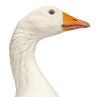 Close-up Of A Domestic Goose, Anser Anser Domesticus, Isolated