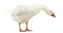 Domestic Goose, Anser Anser Do...