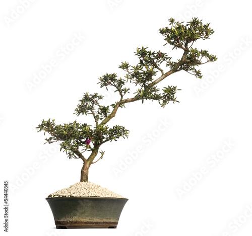 Photo Stands Bonsai Azalea bonsai tree, Rhododendron, isolated on white