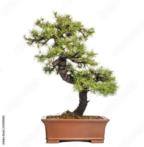Fotobehang Bonsai Larch bonsai tree, Larix, isolated on white