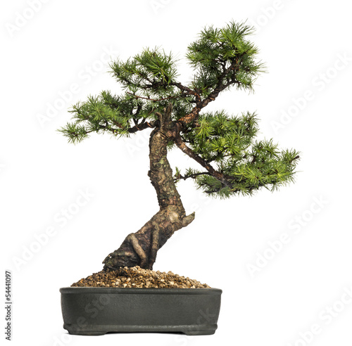 Papiers peints Bonsai Larch bonsai tree, Larix, isolated on white