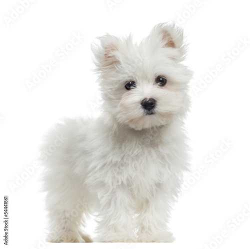 Obraz Maltese puppy standing, looking at the camera, 2 months old - fototapety do salonu