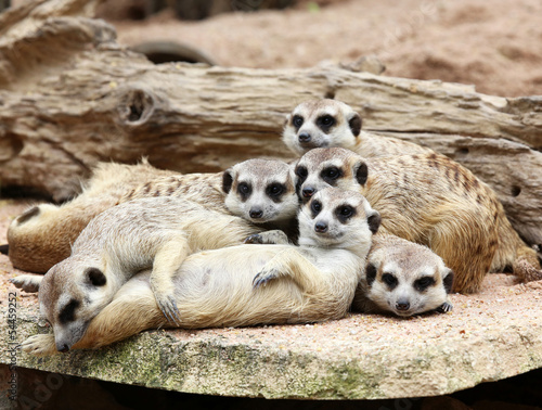 Fotografie, Obraz  Family of Meerkats
