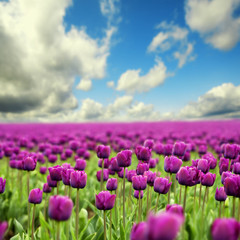 fototapeta wiosenne tulipany