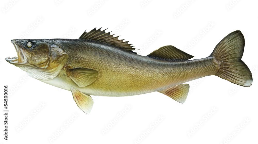 Fototapeta Big walleye isolated on a white background