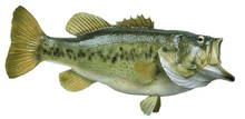 Largemouth Bass Isolated On Wh...