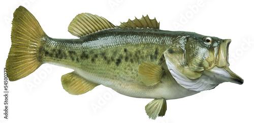 Photo  Largemouth bass isolated on white background
