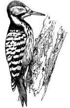 Bird Woodpecker