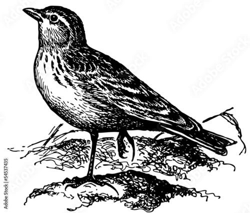 Valokuva  Bird Lesser Short-toed Lark