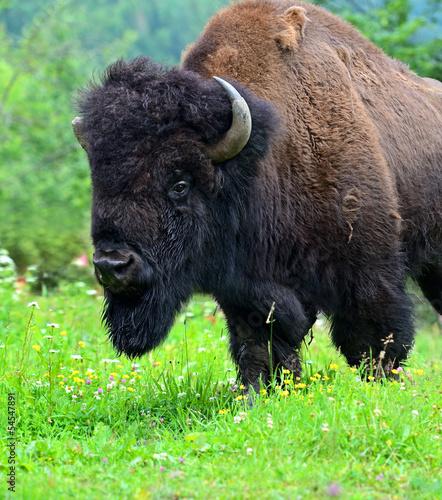 Papiers peints Bison Bison