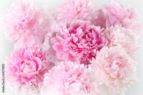 tle-kwiatow-rozowych-odmian-piwonii-albert-kruss