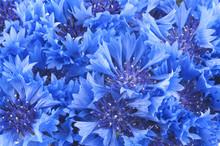 Close Up Of Beautful Blue Flower Of Cornflower