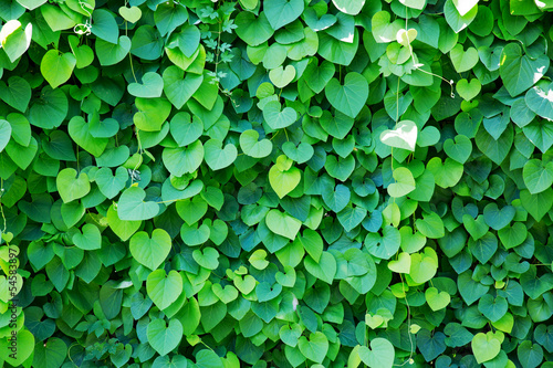 Foto op Plexiglas Groene Ivy covered wall