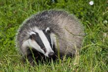 European Badger (Meles Meles) In The Grass