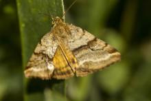 Goldwing (Synthymia Fixa) Noct...