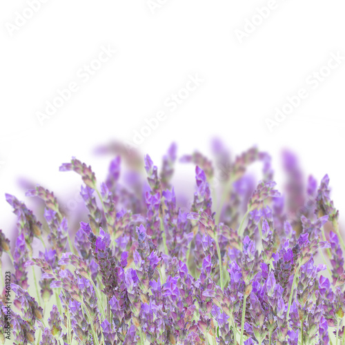 Photo sur Toile Lavande Lavender flowers on white