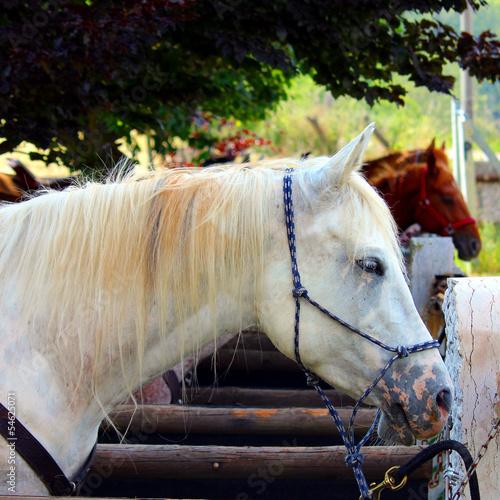 Fotografie, Obraz  cavallo