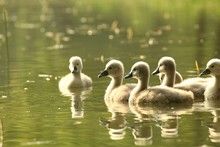 Young Swans In A Forest Pond A...