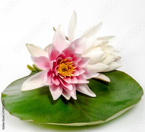 Foto op Plexiglas Waterlelies Rosa und weiße Seerose auf Seerosenblatt