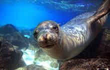 Sea Lion Underwater Looking At...