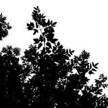 Leaves Silhouette Of American Maple